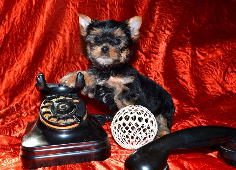 Yorkshire teriér - malý psík 3e16afbd77a